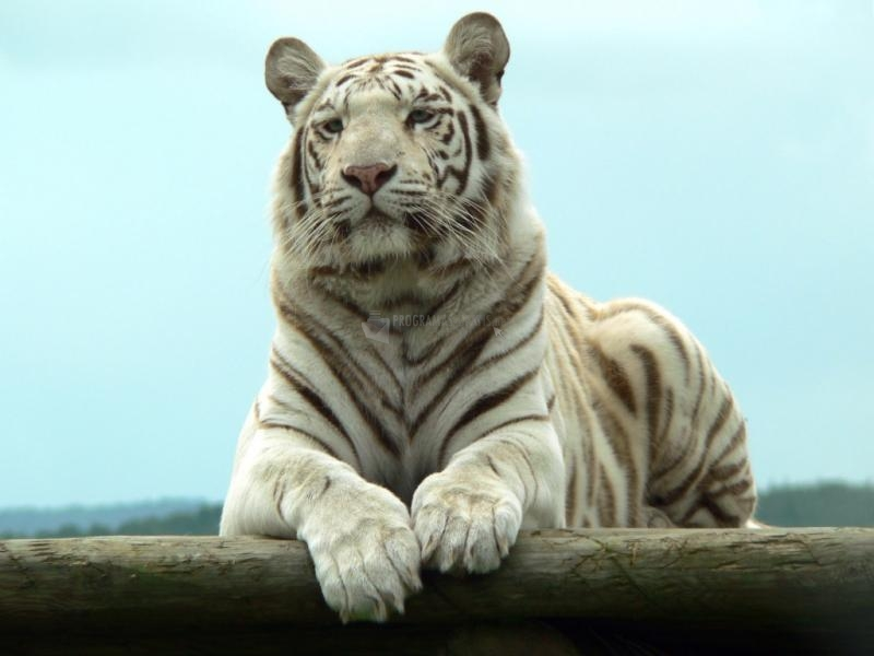Pantallazo Tigre albino