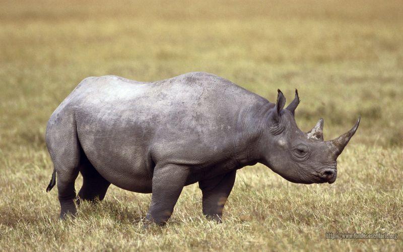 Pantallazo Rinoceronte africano
