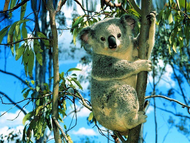 Pantallazo Koala