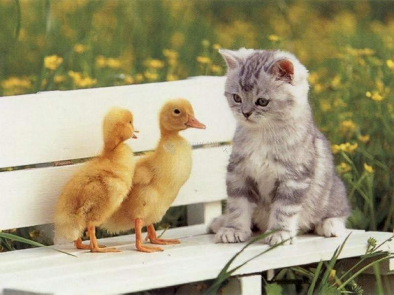 Pantallazo Cat and ducks