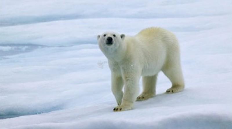 Pantallazo Polar Bears