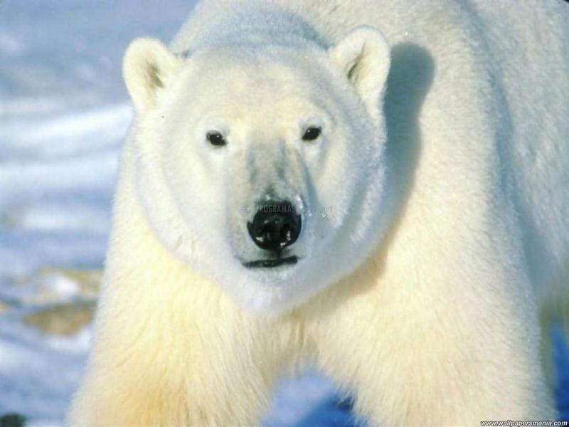 Pantallazo Fondo Oso Polar