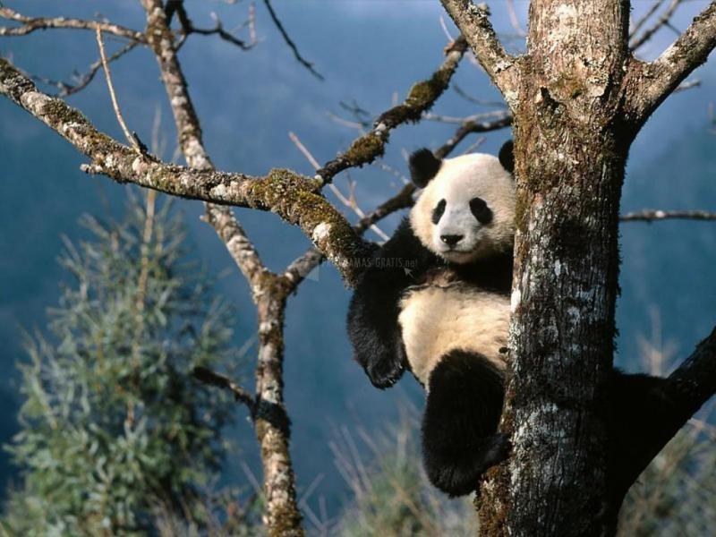 Pantallazo Oso Panda en el Árbol
