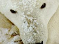 Pantallazo Oso polar