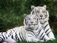Pantallazo Tigres Albinos